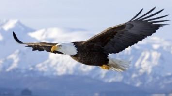 bald-eagle-450x253